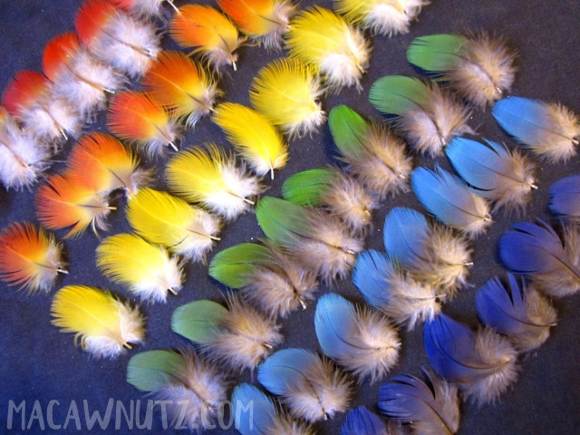 50 Multi Colored Macaw Parrot Feathers