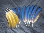 Blue and Gold Macaw Parrot Feathers