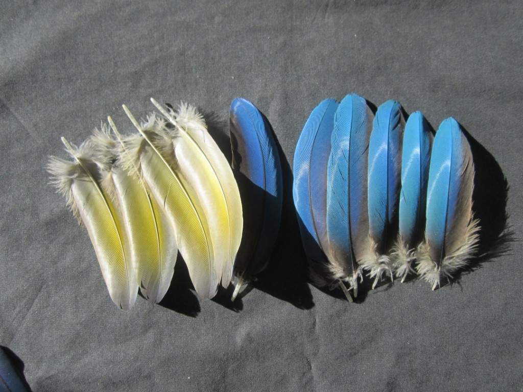 Blue & Gold Macaw Parrot Feathers