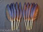 10 Hyacinth Macaw Wing Feathers
