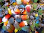 100 Small Multi Colored Macaw Parrot Feathers